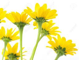 yellow daisy flower images daisys pinterest