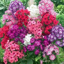 phlox flower buy phlox beauty mix colors seeds online at nursery live best