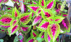 ornamental plants suppliers manufacturers in india