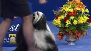 afghan hound national dog show dog show nbc sports