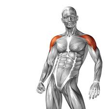 Human Anatomy Images Free Download Deltoid Front View Of The Human Body People Stock Photo Free