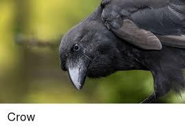 Crow Meme - crow meme on me me
