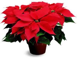 poinsettia tree will you sponsor a poinsettia plant wimbledon christmas