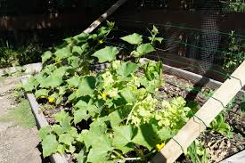 growing cucumbers the ultimate how to guide