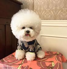 bichon frise names male tori the bichon frise u0027s spherical hair style is making her an