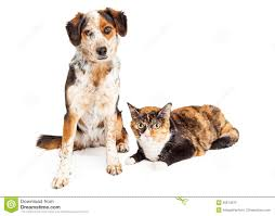 australian shepherd with cats merle dog and calico cat stock photo image 50674372