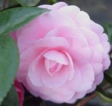 camellia flowers camellia plants and flowers camellia varieties sinensis japonica