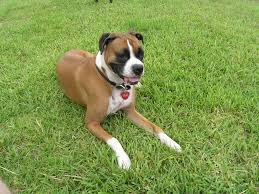 boxer dog yard art boxer dog lucy lou is in the sky through your body
