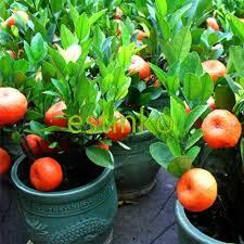 50pcs small potted edible orange seeds bonsai orange sweet fruit