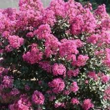 Flowering Privacy Shrubs - the planting tree buy privacy trees flowering shrubs fruit trees