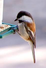 California Backyard Birds by Chestnut Backed Chickadee Identification All About Birds