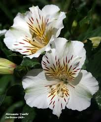 Peruvian Lily The 25 Best Peruvian Lily Flower Photos Ideas On Pinterest