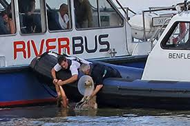 thames river boats dogs heroic woman who dived in thames to save drowning dog is rescued by