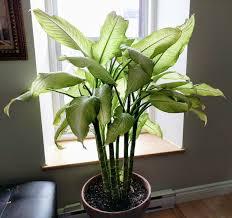 House Plant Dieffenbachia Wikipedia