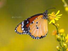 plain tiger butterfly nectar stock photo by creativenature nl