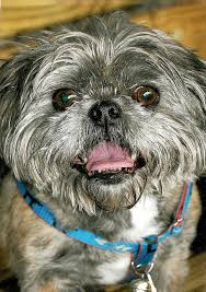 affenpinscher skin problems pictures of mixed breed dog cute mutt photos