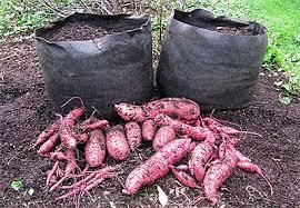 growing sweet potatoes in containers u2013 dane county sweet potato