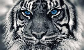 white tiger by asksock on deviantart