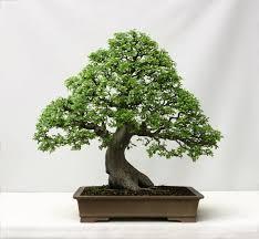 indoor bonsai trees tiny trees