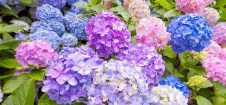 hydrangeas flowers hydrangea flowers solidaria garden
