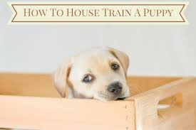 how to house train a puppy follow these steps