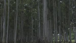 stand of slender pine trees stock footage dissolve