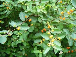 portland native plant list controlling small scale infestations of exotic invasive plant