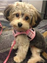 haircut for morkies morkie a cross between a yorkie and a maltese they look like