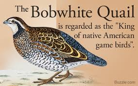 interesting facts about bobwhite quails that u0027ll leave you in awe