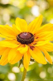 71 best rudbeckia images on pinterest flowers flower gardening