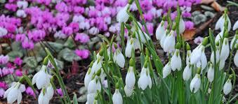 winter flowering plants ashwood nurseries