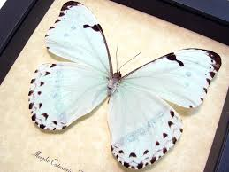 morpho catenarius framed mint blue display by butterfly