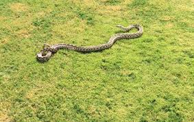 Found A Snake In My Backyard Ceres Gopher Snake Given New Home At Shooting Range The Modesto Bee