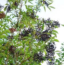 free photo bush elderberries black elderberry lilac berries max