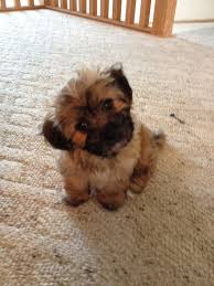 1 week old bichon frise 66 best i love shih tzu bichon puppies images on pinterest