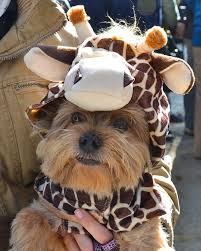 Yorkie Costumes Halloween 126 Dogs Costumes Images Animals Costumes