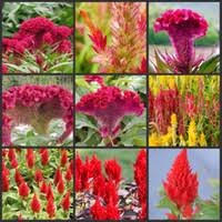 Cheap Flower Seeds - cheap cockscomb flower seeds free shipping cockscomb flower