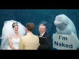 Bride To Be Meme - beluga whale upstages bride on her wedding day leading to a meme