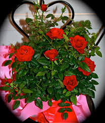 the valentine roses why i love west texas