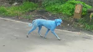 blue dogs spotted india u2014what u0027s causing