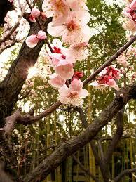 best 25 japanese plum tree ideas on japanese flowers
