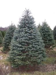 blue spruce trees blue spruce