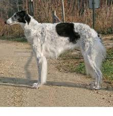 afghan hound lady and the tramp borzoi breed information history health pictures and more