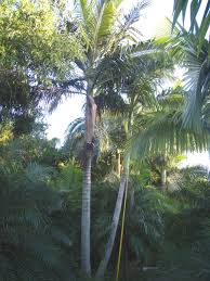 florida tree farms and tree growers homestead florida palm growers