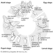 butterfly life cycle printable monarch butterfly life cycle