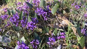 australian native climbing plants native and versatile hardenbergia enjoying a purple patch the