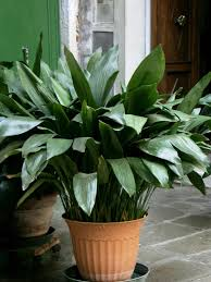 cast iron plant 1st 10 potted plants pinterest cast iron