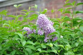 Shrub With Fragrant Purple Flowers - lilac persian lilac syringa persica fragrant purple flowers zone 3