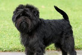 affenpinscher terrier mix affenpinscher puppies with flower dog breeds puppies appearance