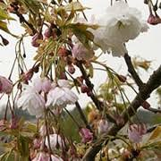 prunus shogetsu it s beautiful http www ornamental trees co